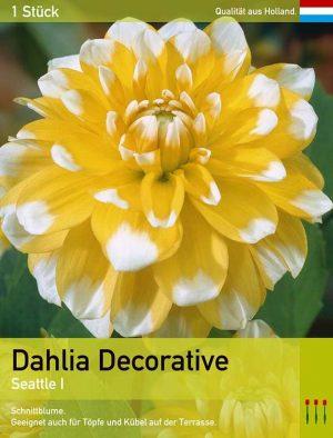 Dahlia decorative 'Seattle'