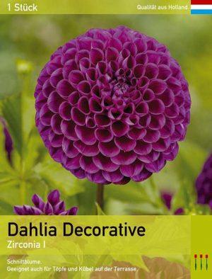 Großblütige Dahlie 'Zirconia'