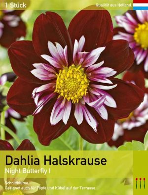 Halskrausendahlie 'Night Butterfly'