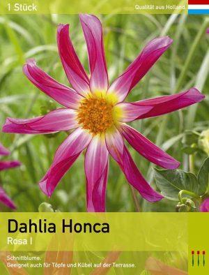 Dahlia Honka Pink