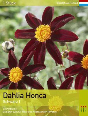 Dahlia Honka schwarz