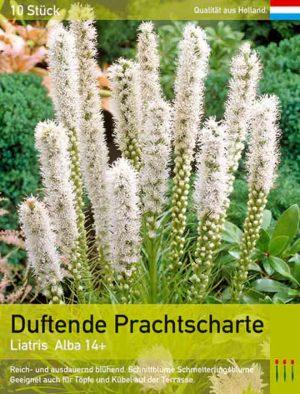 Liatris spicata weiß