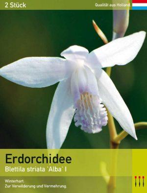 Erdorchidee 'Alba