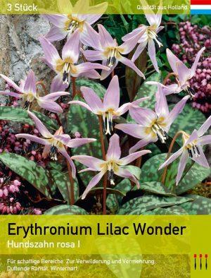 Erythronium Lilac Wonder