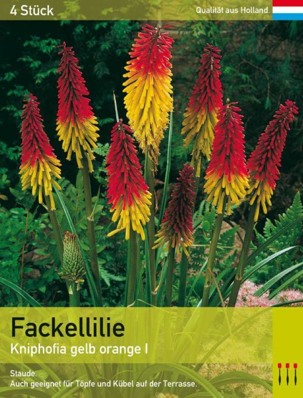 Fackellilie gelb orange