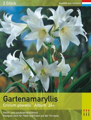 Garten Amaryllis Alba'
