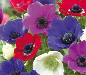 Lemo Gartendesign | Garten-Anemone in lila, violett, rot und weiß