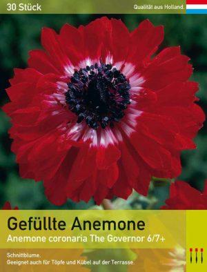 Gefüllte Herbstanemone 'The Govenor'