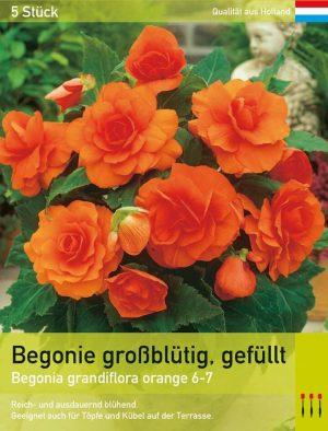 Gefüllte Begonie orange