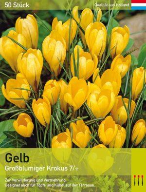 Großblumiger Krokus Gelb