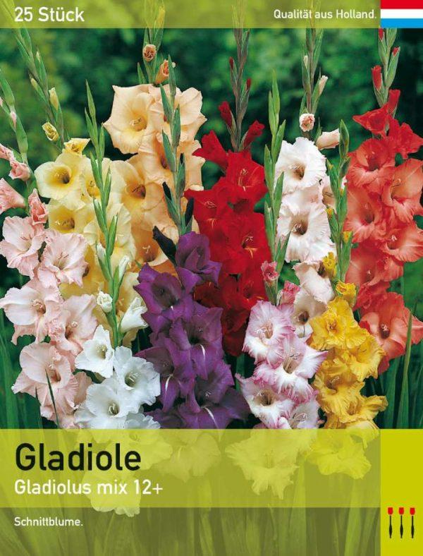 Großblütige Gladiole