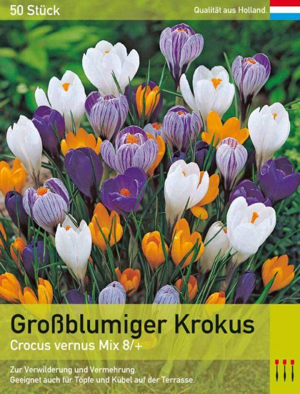 Großblumiger Krokus Mix