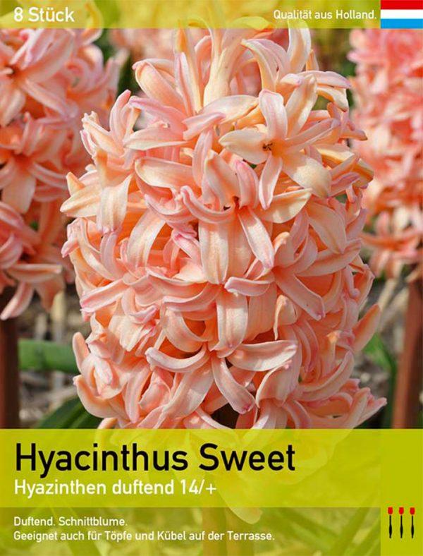 Hyacinthus Sweet