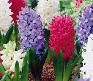 Lemo Gartendesign | bunte Hyazinthen