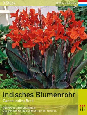 Canna indica rot