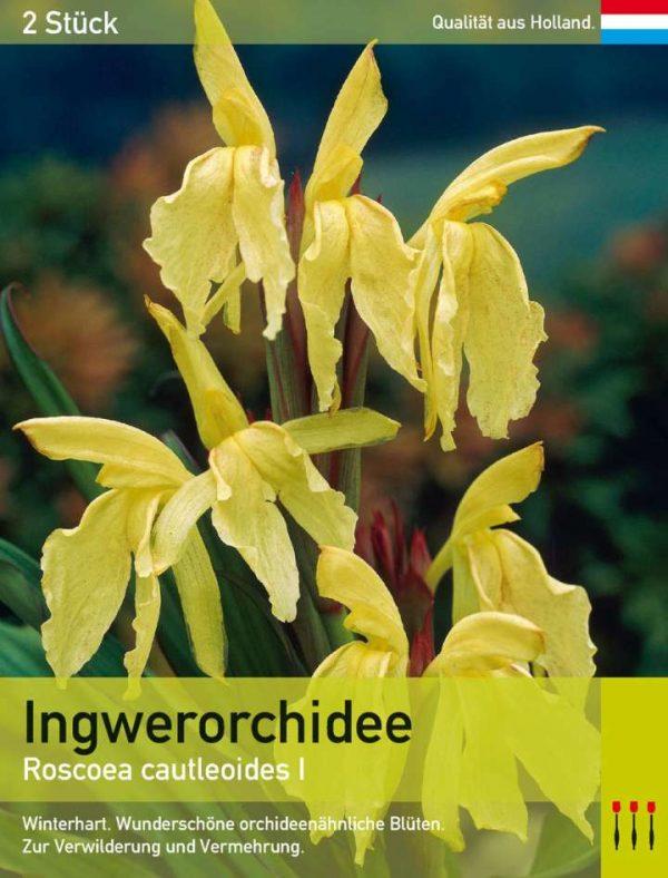 Ingwerorchidee cautleoides