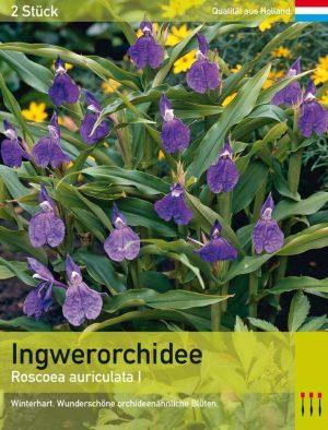 Ingwerorchidee auriculata