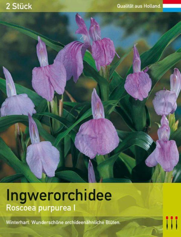 Ingwerorchidee purpurea