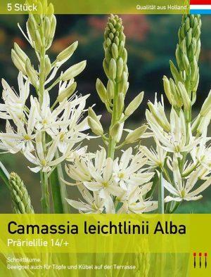 leichtlinii Alba