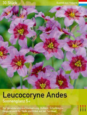 Leucocoryne Andes