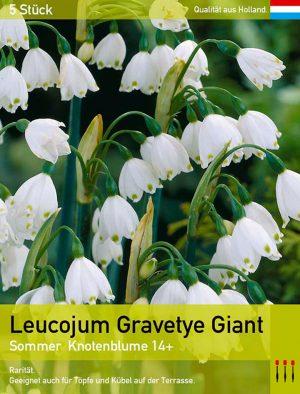 Leucojum Gravetye Giant