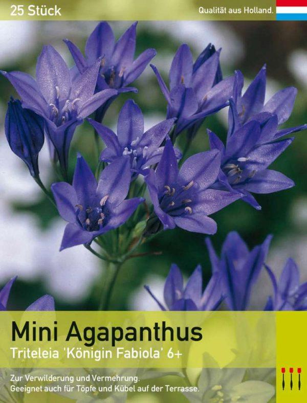 Mini Agapanthus blau
