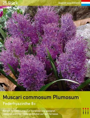 Muscari commosum Plumosum