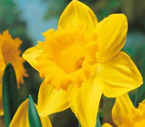 Lemo Gartendesign | Gelbe Narzisse
