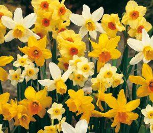 Lemo Gartendesign | gelbe und creme-farbige Narzissen