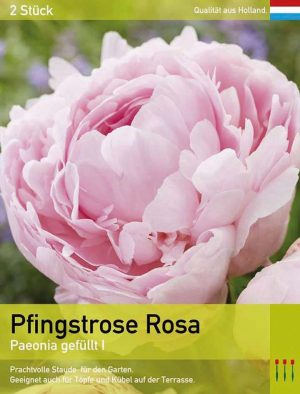 Päonia Rosa gefüllt