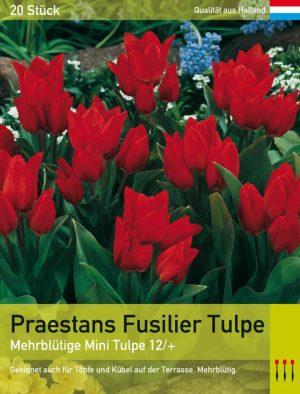 Praestans Fusilier Tulpe