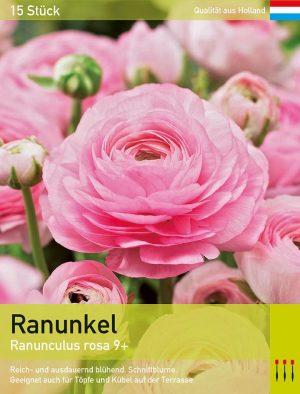 Ranunkel (Asiatischer Hahnenfuß) rosa