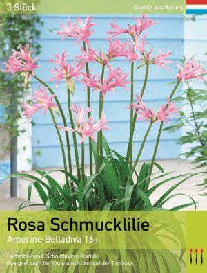 Rosa Schmucklilie