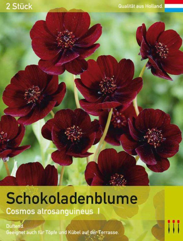 Duftende Schokoladenblume