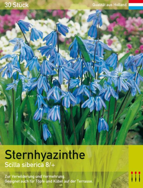 Sternhyazinthe