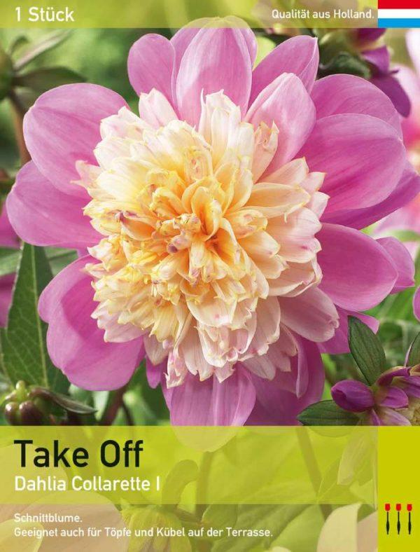 Anemonenblütige Dahlie 'Take Off'