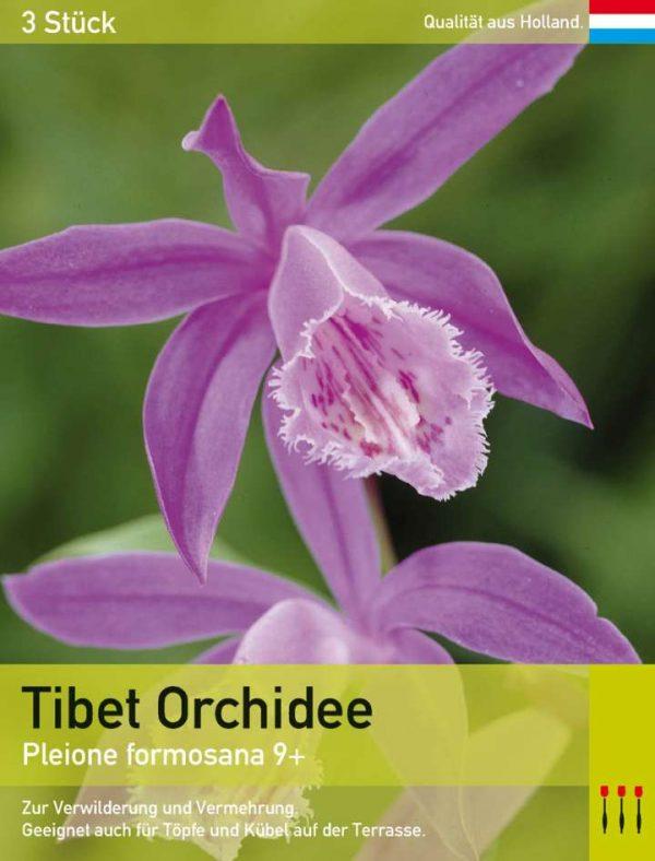 Tibet Orchidee