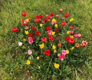 Lemo Gartendesign | bute Tulpen auf der Wiese