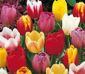 Lemo Gartendesign | bunter Tulpenmix