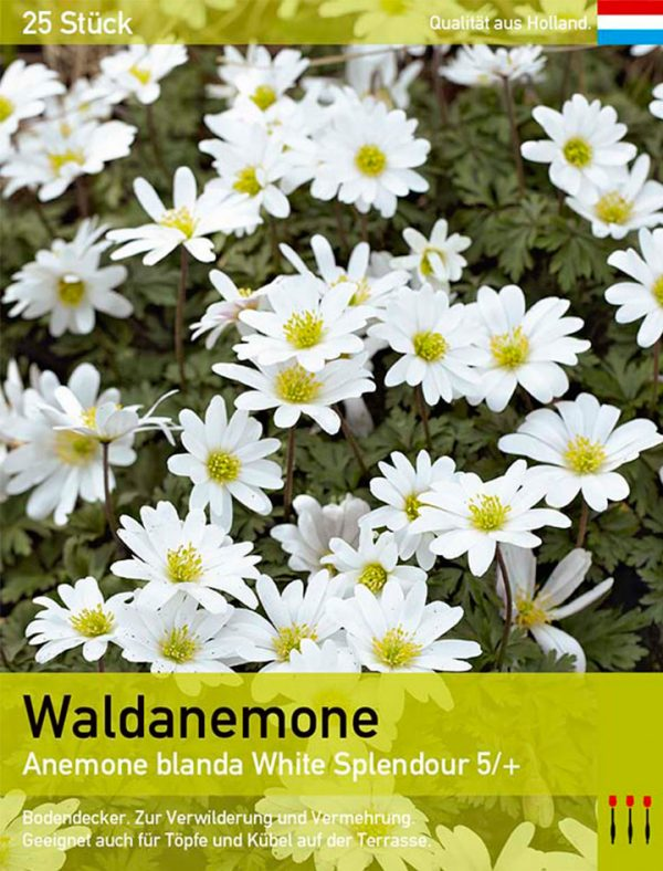 Waldanemone