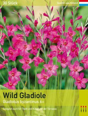 Wild Gladiole