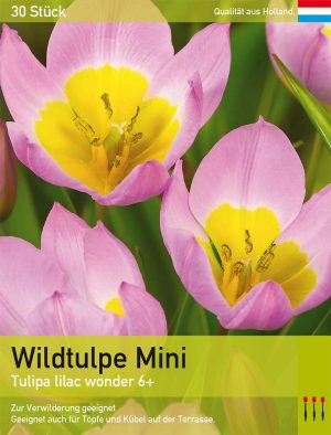 Wildtulpe Mini