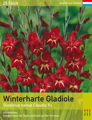 Niedrige Gladiole 'Claudia'