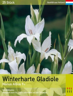 Niedrige Gladiole 'Albus'